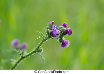 closeup of a thistle