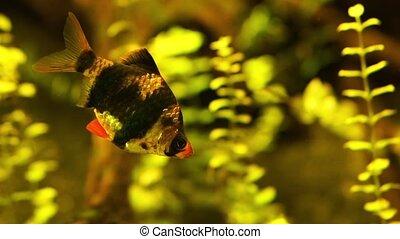 closeup of a Tiger barb, tropical fish specie from Indonesia, popular pet in aquaculture