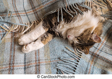tired tabby cat resting wrapped in pale blue tartan blanket with fringe