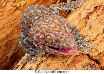 Tokay Gecko - Closeup of a Tokay Gecko (Gecko gecko).