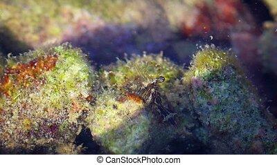 Closeup of a Tropical Glass Shrimp in its Natural Habitat....