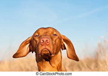 Closeup of a Vizsla Dog in the Spring