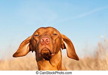 Closeup of a Vizsla Dog in the Spring