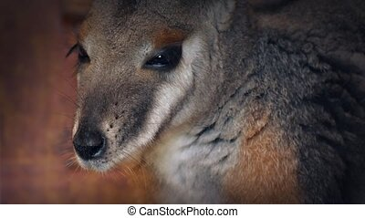 Closeup Of A Wallaby - Portrait shot of wallaby