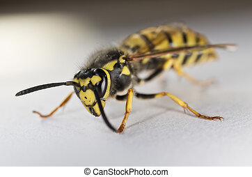 Closeup of a Wasp on White Background