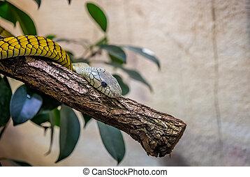 Closeup of a western green mamba snake resting on a tree