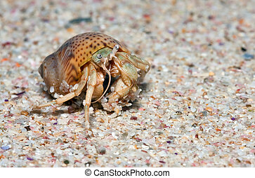 Closeup of a wet crab in a shell walking on the beach