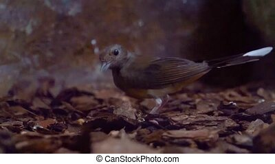 closeup of a white rumped shama picking up a worm, robin bird searching for food, Bird eating a worm, tropical animal specie from Asia