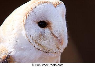Closeup of a white screech owl