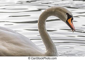 Closeup of a white Swan swimming on a lake