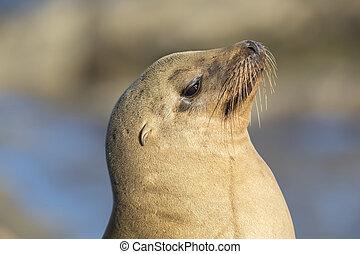Closeup of a wild California Sea Lion - San Diego, California