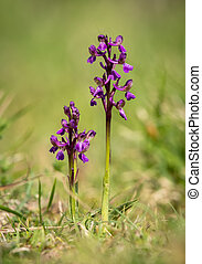 Closeup of a wild orchid in a meadow