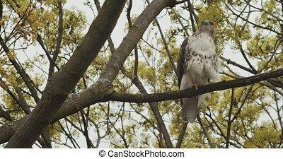 Closeup of a wild osprey sitting on a branch. Shot in 4K RAW...