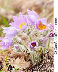 Closeup of a wild pasque flower in springtime