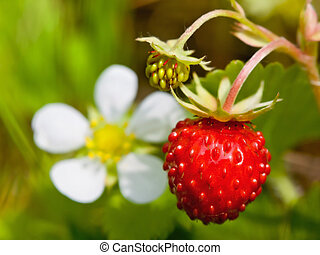 Closeup of a wild strawberry with berries and florets - Wild...