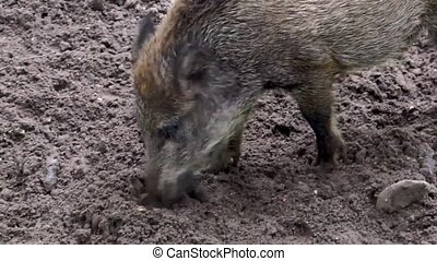 closeup of a wild swine rooting the sand for food, typical animal behavior