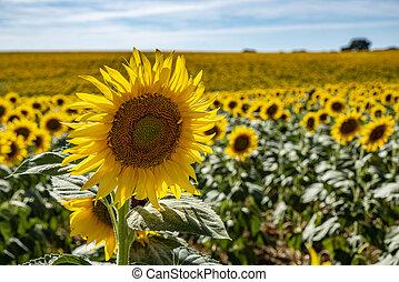 closeup of a yellow sunflower flower