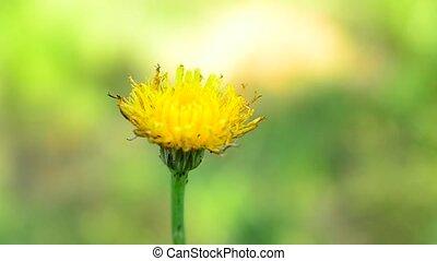 Closeup of a yelow dandelion flower on the field