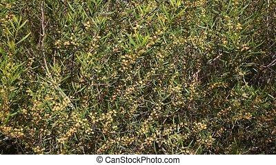 Closeup of Acacia dodonaeifolia globular yellow flower heads on green leaves background in spring