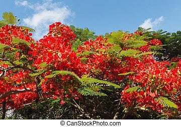 acacia tree red flowers