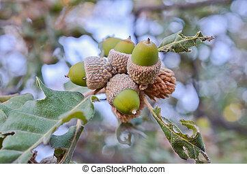 Closeup of acorn in the wood