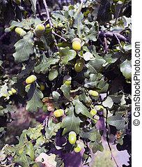 closeup of acorns on branch of oak tree