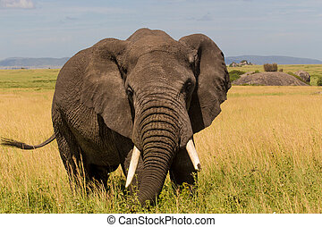 Closeup of African Elephant - African Elephant With Ears...