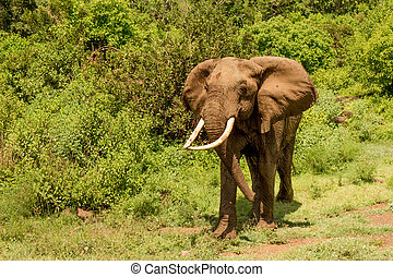 African Elephant in Front of Green Forest - Closeup of...