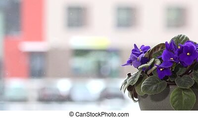 Closeup of african violet flower blooms on window background. Snow falling