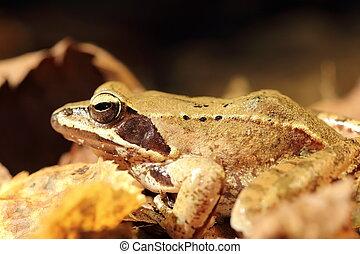 closeup of agile frog