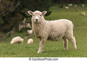 alert lamb with flock of sheep grazing in background