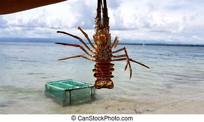 Closeup of alive lobster in the beach. Lobsters need to be...