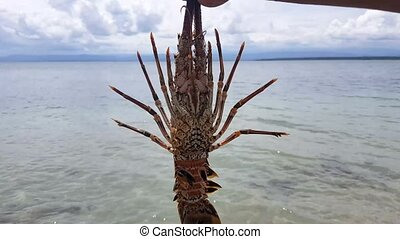 Closeup of alive lobster or prawn in the beach ready to...