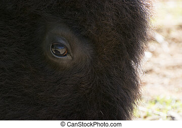 Closeup of American Bison Face