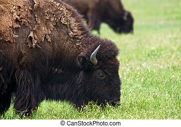 Closeup of American Bison