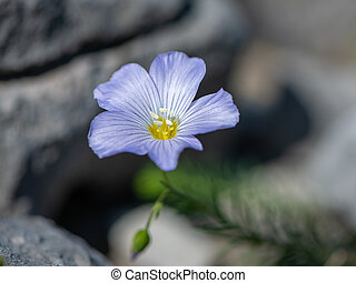 Closeup of an alpine flax in the Austrian Alps