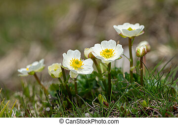 Closeup of an alpine Ranunculus in the Austrian Alps
