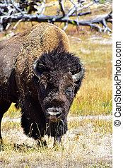 Closeup of an American Buffalo