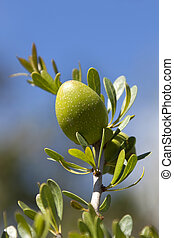 Closeup of an argan nut on branch with blue sky background.