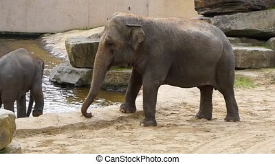 closeup of an Asian elephant with a calf, beautiful portrait of a endangered animal specie from Asia
