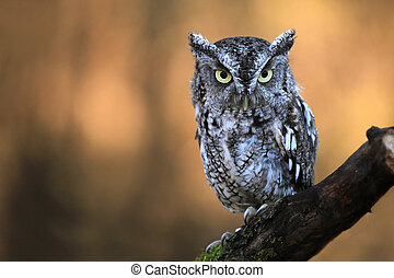 Screech Owl - Closeup of an Eastern Screech Owl against a...