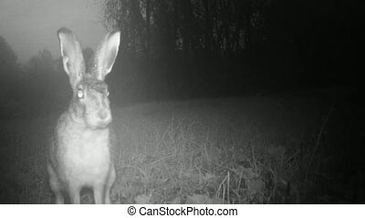 Closeup of an European Hare Rabbit, Lepus Europaeus, in a Grass Meadow by Night