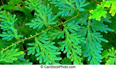 Closeup of an Iridescent Blue Peacock Fern, with its blue...