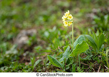 Closeup of an oxlip in the Austrian Alps