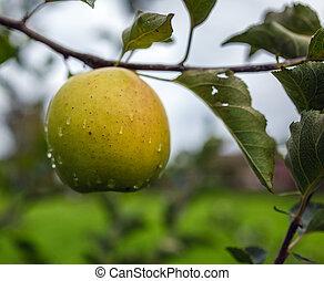 Closeup of an yellow apple after rain