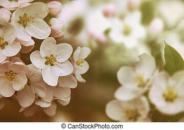 Closeup of apple blossom flowers with vintage color filters