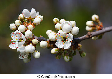 Closeup of apple tree blossom buds in early spring