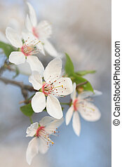Closeup of apple tree blossom in early spring