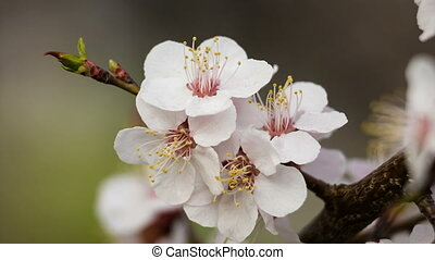 Closeup of apricot flowers on the tree branch