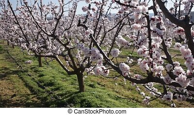 Close up of white apricot flowers on tree on sunny spring day